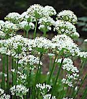 Chives -Garlic Allium tuberosum