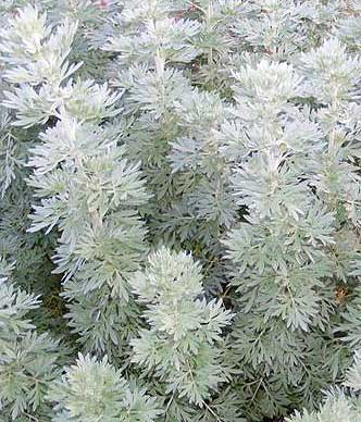Wormwood (Artemisia absinthium) organically grown flower seeds
