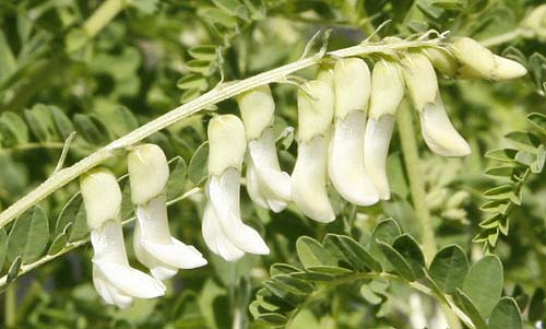Chinese milk vetch astragalus membranaceus organically grown chinese milk vetch astragalus membranaceus mightylinksfo