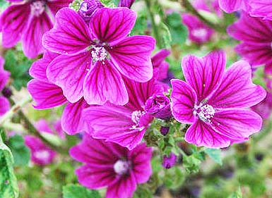 Mallow - Common Malva sylvestris