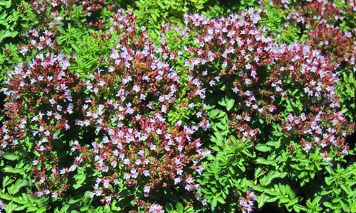 marjoram origanum majorana organically grown flower. Black Bedroom Furniture Sets. Home Design Ideas