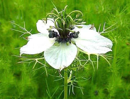 Cumin, Black (Nigella Sativa) organically grown flower ...