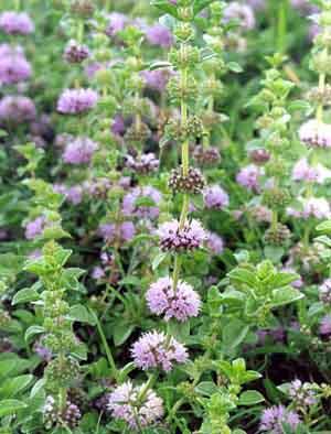 Pennyroyal Mentha pulegium organically grown flower seeds
