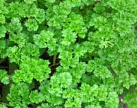 Parsley, Triple Curled Petroselinium crispum