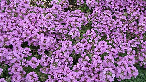 Thyme, creaping Thymus pulegioides