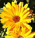 Pot Marigold Calendula officinalis
