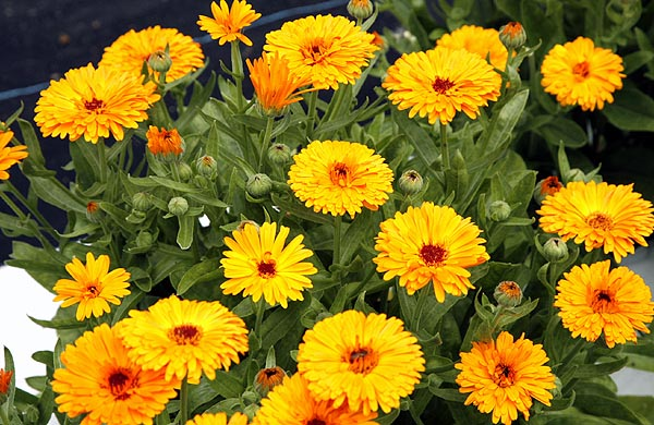 Calendula is such a cheerful flower.