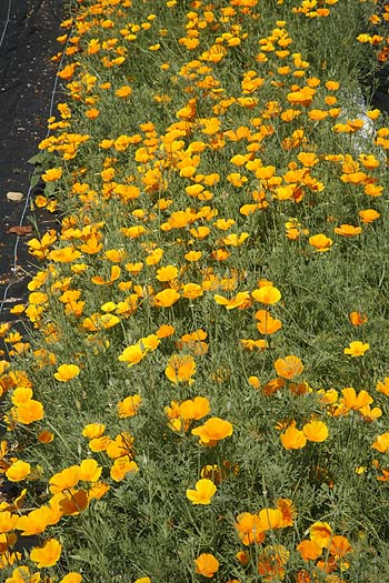 California Poppy Eschscholzia californica
