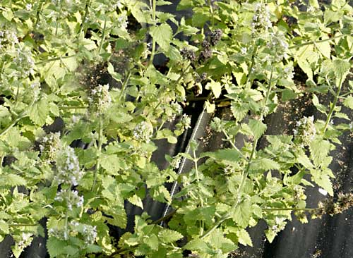 Catnip - Lemon Nepeta cataria ssp. citriodora