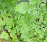 Cilantro or Coriander Coriandrum sativum