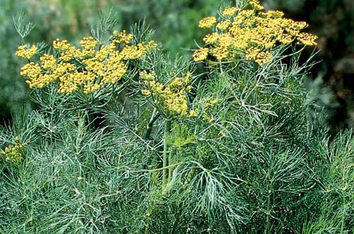 Dill Anethum graveolens