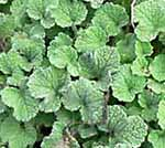 Horehound, White Marrubium Vulgare