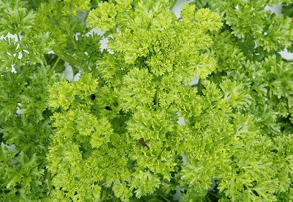 The leaves of tripled curled parsley look so exotic.