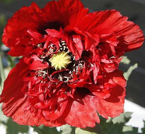 Poppy - Dwarf Double Papaver somniferum