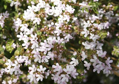 Thyme Common Thymus Vulgaris Organically Grown Flower