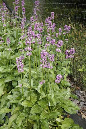 Wood Betony Stachys officinalis