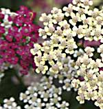 Yarrow mixed colors Achillea millefolium