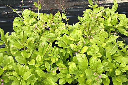 Jewels Opar Talinum Paniculatum Organically Grown