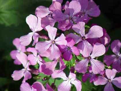 Money Plant/Honesty Lunaria annua