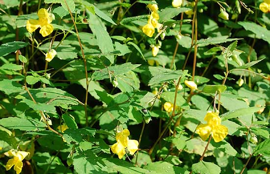 Pale Jewelweed Impatiens pallida