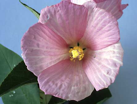 Rose / Swamp Mallow Hibiscus moscheutos