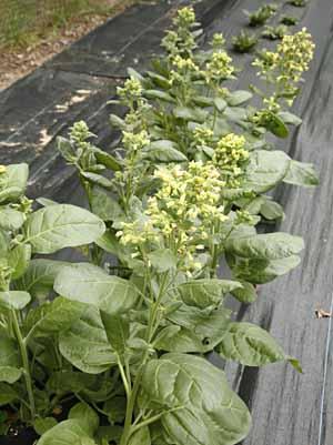Tobacco, Rustic (Nicotiana rustica) organically grown flower seeds