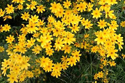 Sunflower - Tickseed (Bidens aristosa / Bidens polylepis ...