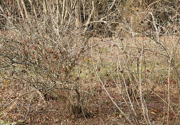 Bare winter shrubs need water to survive